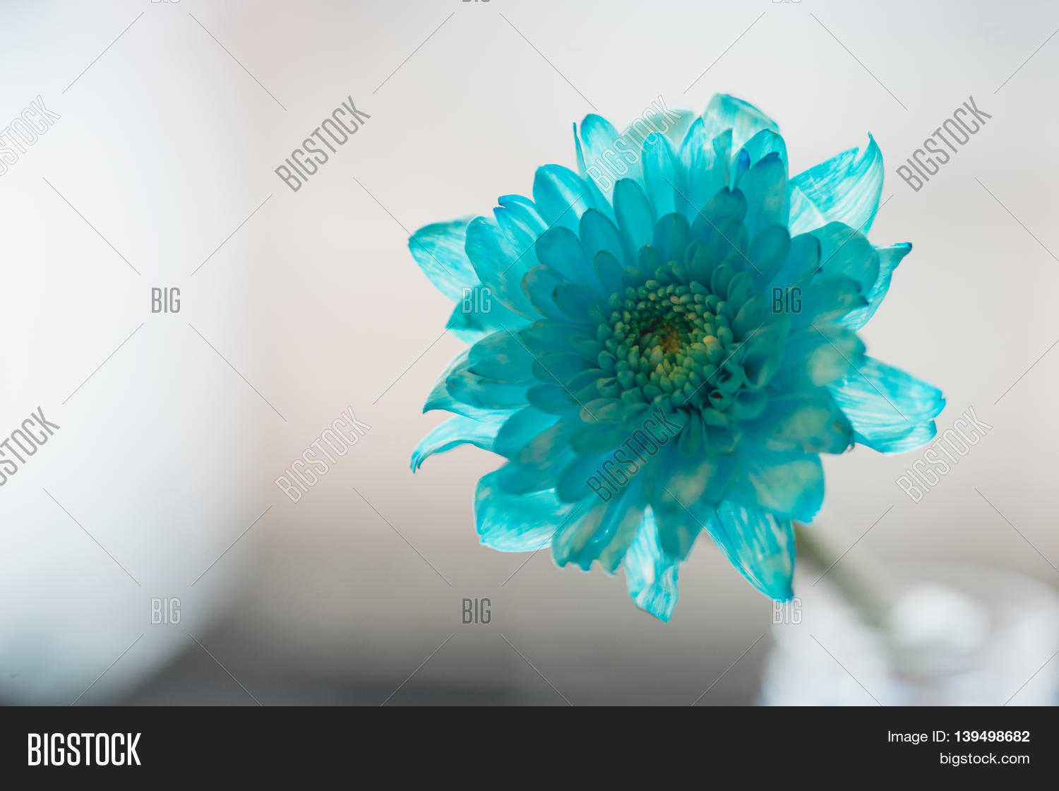 Blue daisy flower navy image photo free trial bigstock blue daisy flower navy blue daisy flower on white isolated background text word on background daisy izmirmasajfo