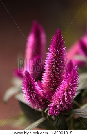 Purple pink flower of Celosia, also known as cockscomb or woolflowers, bloom in Africa, Mexico and even China as a perennial in gardens in summer.