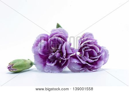 bouquet of purple white carnation flower on isolated background text word on beautiful lovely pretty fresh carnation