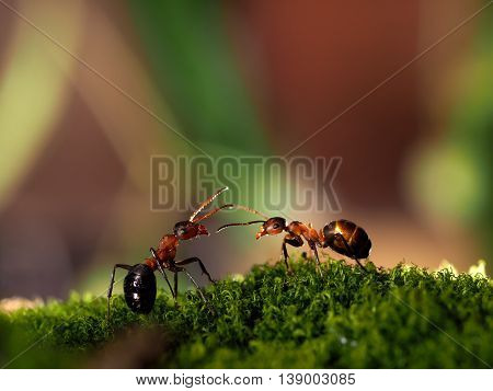 Beautiful red forest ants standing on moss. Macro. Communication of ants dialog conversation