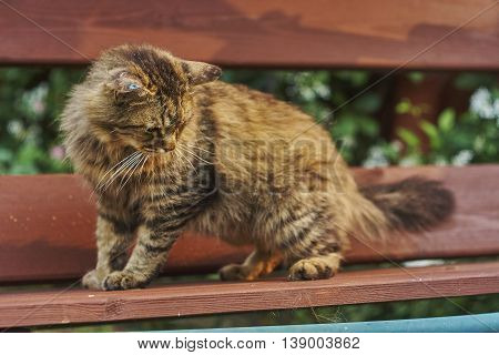 nice Siberian cat look down on bench