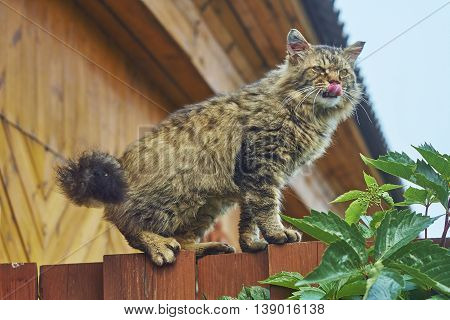 angry siberian cat on fence top is showing tongue