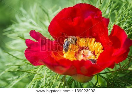 Beautiful spring background with bee on red peonies, outdoor
