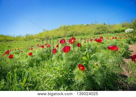 Beautiful spring background with red peonies outdoor