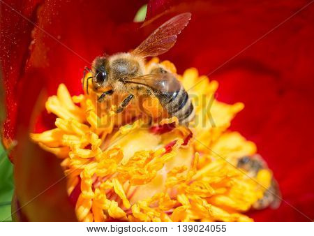 Beautiful backgroung with a peonny flower being pollinated by a bee, in summer season