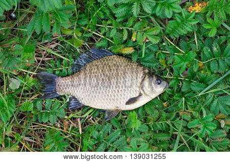 big crucian caught lying on green grass