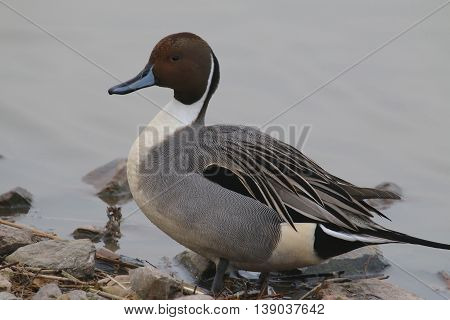 This is a picture of a male Pintail Duck (Anas acuta), sitting at the rocky edge of a lake. This picture was taken in Gloucestershire, England in late-February.