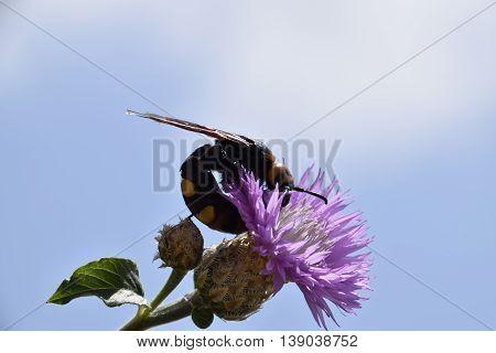 Megascolia Maculata. The Mammoth Wasp.