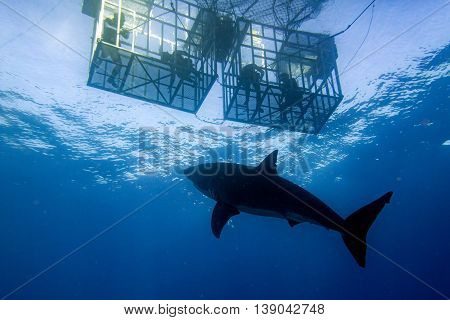 Cage Dive With Great White Shark Ready To Attack