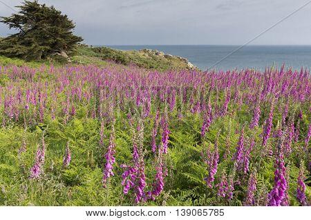 Digitalis flowers growing on Jersey island, UK
