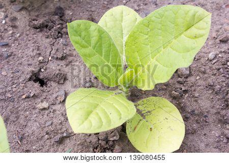 Jasmine tobacco (Nicotiana alata) in a botanical garden