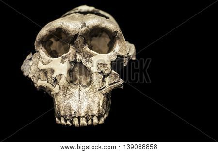 Skull of Paranthropus boisei or Australopithecus boisei an early hominin of Pleistocene epoch
