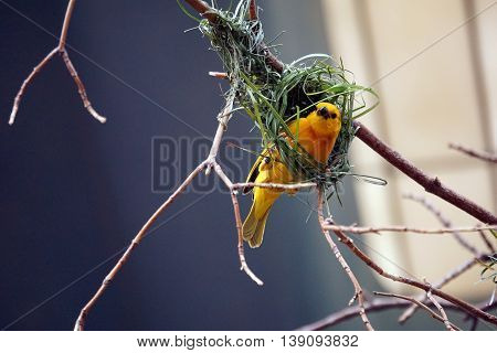 A taveta golden weaver (Ploceus castaneiceps) uses its strong claws and bill to weave a complex nest out of grass.