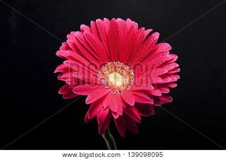 Detail beautiful flower whit water dorps in black background