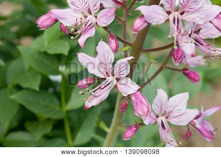 Pink Diptam (dictamnus Albus) In The Garden