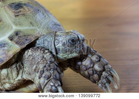 The head of the turtle on the wooden desk