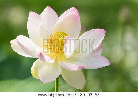 Macro of an indian lotus - Nelumbo nucifera