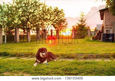 Husky dog is in the yard in the evening at sunset
