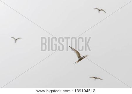 Arctic Terns, Sterna Paradisaea