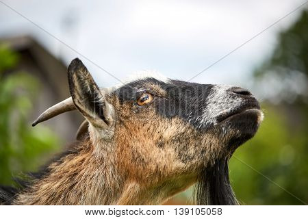 Snooty Goat Looking Into The Sky