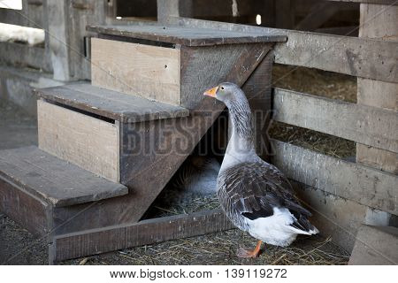 Profile of a gray goose standing inside a barn by three steps.  The goose's nest with a laying goose  is visible under the steps.