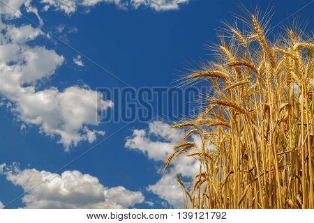 Wheat growing on field. Ripe wheat ears on blue sky background