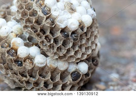 Wasp Nest with larvae and eggs in individual cell of the hive side view closeup macro