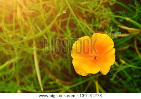 California poppy flower - in Latin Eschscholzia californica - in the meadow under warm sunny light - summer floral background. Selective focus at the flower
