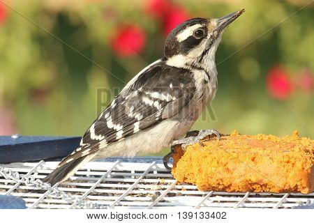 Female Hairy Woodpecker (Picoides villosus) on a feeder with a floral background