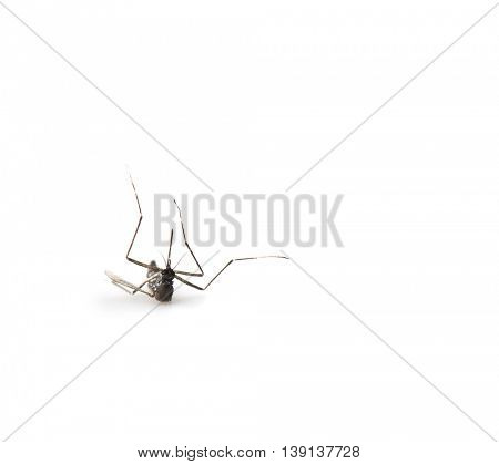 Mosquito down and down side up, isolated on white.