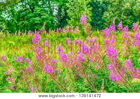 Pink blooming flowers of willow-herb closeup view - summer natural floral landscape.