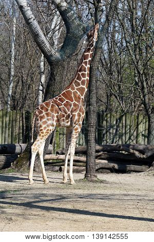 A tall reticulated giraffe (Giraffa camelopardalis reticulata) tries to reach for leaves in a tree protected by a mesh.