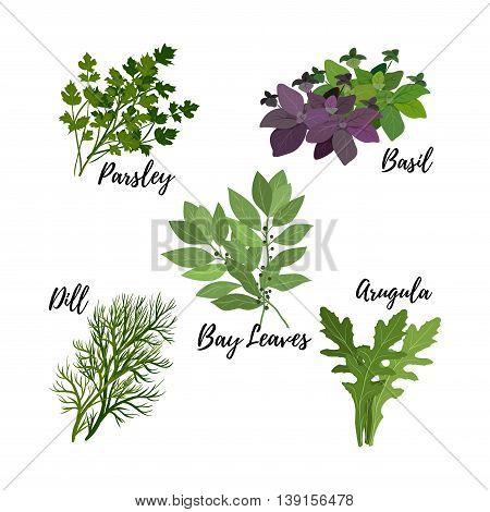 Collection of fresh herbs isolated: bay leaves arugulabasilparsley and dill. Kitchen herbs on a white background vector illustration.
