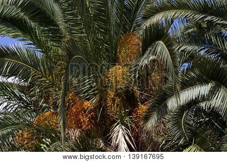 Canary palm tree, Phoenix canariensis. Stock date palm photo