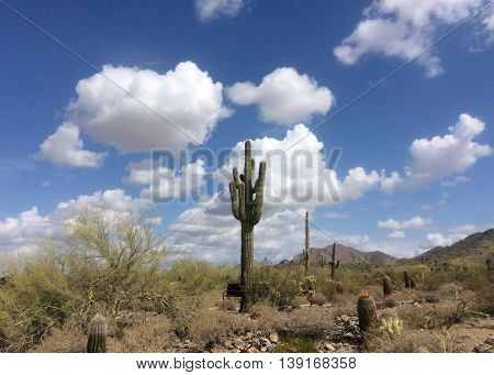 Sonoran desert landscape in Scottsdale, Arizona with a Saguaro cactus surrounded by smaller cacti and other desert foliage against a blue sky with white fluffy clouds