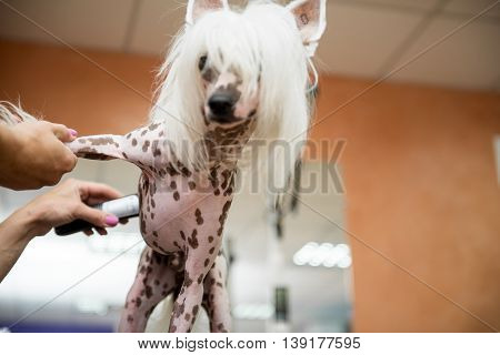 Breed Dog Grooming Chinese Crested. Caring for a dog. Professional Dog Grooming.