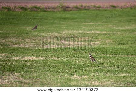 Fieldfares (Turdus pilaris) on a lawn in Sweden.