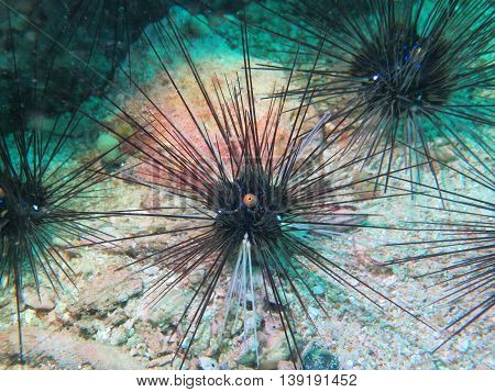closed up the sea urchin in Myanmar divesite