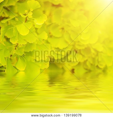 Green and yellow fall leaves of Gingko Biloba - healing plant, nature sunny background with water reflection