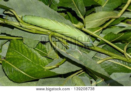 Close up photo of green caterpillar eating leaves.