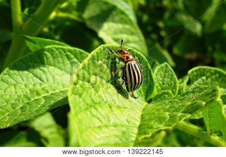 Closeup of Colorado potato beetle on the potato leaf