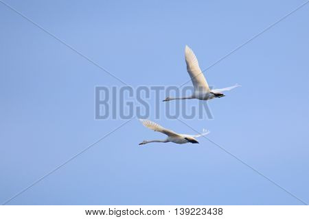 Flying Whooper Swan (cygnus Cygnus) Couple On Blue Sky