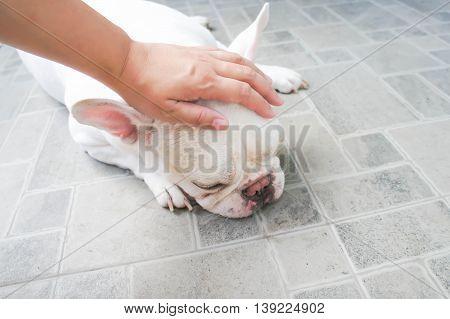 Someone's groping a dog , French bulldog