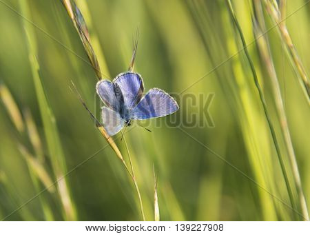 macro of blue butterfly on grass at sunset