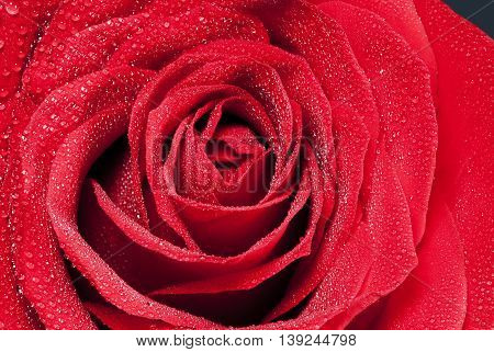 Detail beautiful red rose flower whit water dorps in black background