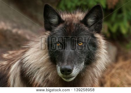 Grey Wolf (Canis lupus) Face - captive animal