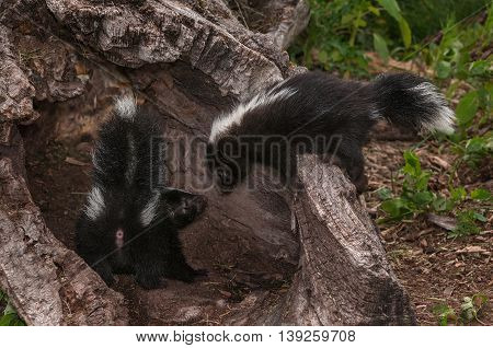 Baby Striped Skunk (Mephitis mephitis) Checks on Sibling - captive animals