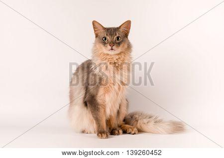 Somali cat blue color on white background sitting portrait