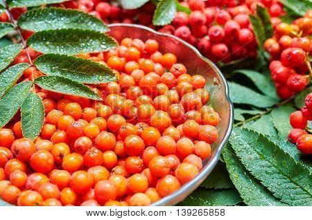 Ripe berry of mountain ash (Sorbus aucuparia)