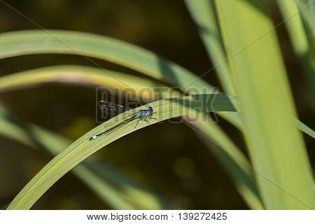 Blue-tailed Damselfly (Ischnura elegans) male resting on a leaf of Yellow Iris (Iris pseudacorus)
